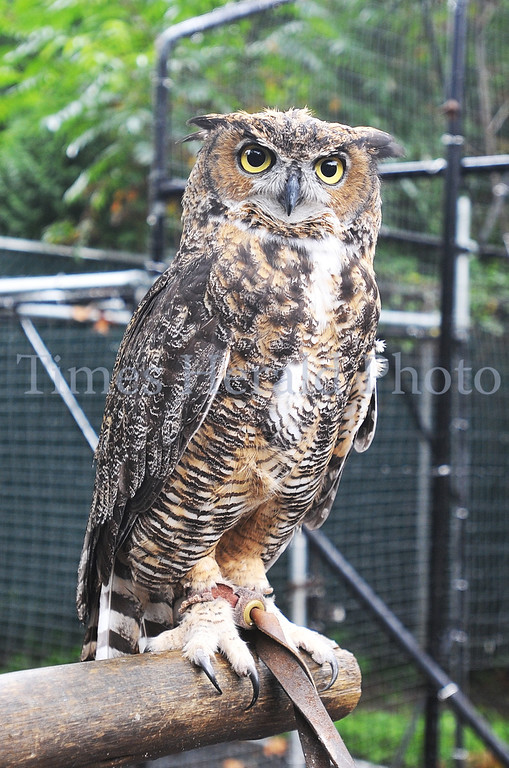 Description of . Stella, a Great Horned Owl, poses for a picture at the Elmwood Park Zoo.  Wednesday, August 28, 2013.  Photo by Adrianna Hoff/Times Herald Staff.